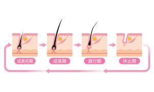 女性 脱毛 光脱毛 毛周期