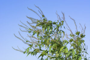 秋花粉の原因であるブタクサ